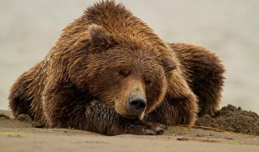 oso representando uno de los cuatro tipos de cronotipos